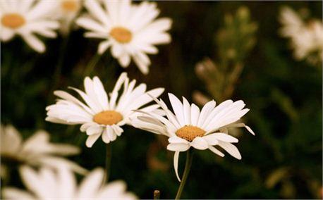 Daisy (653)