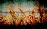 Wheat slide (1094)
