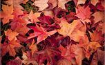Fall Leaves (10839)