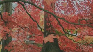 Fall Leaves Background Loop