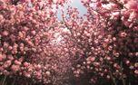 Beautiful pink trees (100925)
