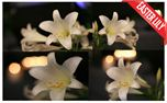 Easter Lily (13847)