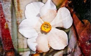 Daffodil Birch