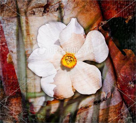 Daffodil Birch (14012)