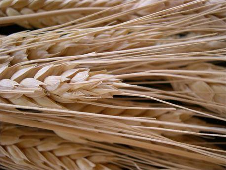 Wheat (16610)