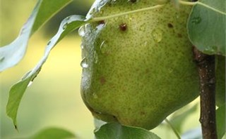 Pear on Tree with Raindrops