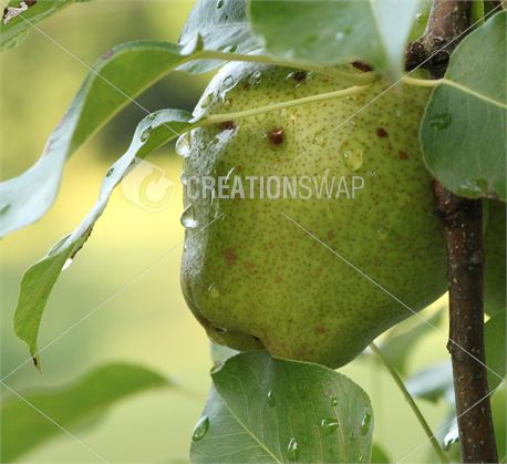Pear on Tree with Raindrops (19650)