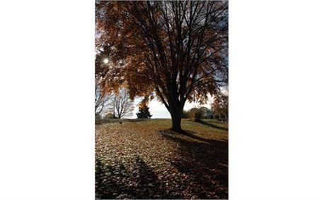 Fall Tree (2165)