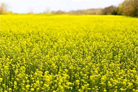 Media yellow flower field creationswap yellow flower field 20515 mightylinksfo