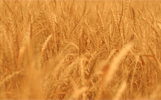 Golden Wheat: Autumn Motion