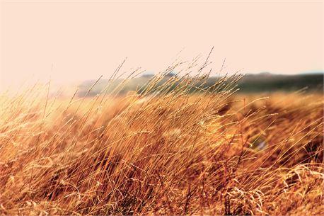 Amber Fields (23849)