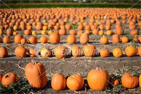 Pumpkins (25179)