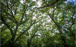 Tree Tops (29127)