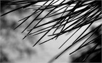 Lake Taupo Pine
