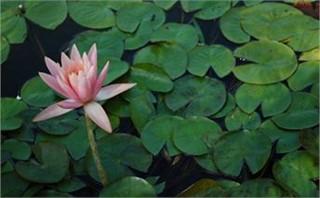sunken gardens--pink lily pads