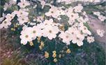 Spring White Flowers  (30053)