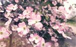 Spring Pink Flowers (30055)