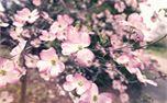 Spring Pink Flowers (30056)