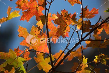 Fall Leaves (31598)