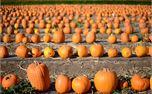 Pumpkins (32538)