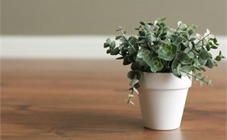 Small potted eucalyptus plant