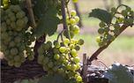 Green grapes on vine (35819)