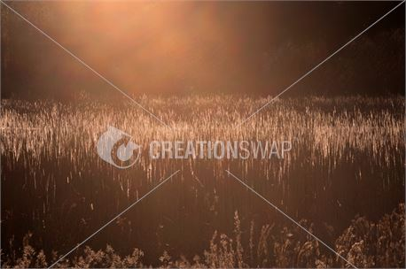 Sunset Over Reeds (36917)
