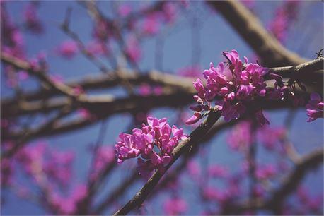 Booming Redbud Tree (37264)