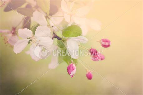 Cherry Blossom (39286)