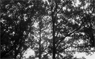Black & White Trees