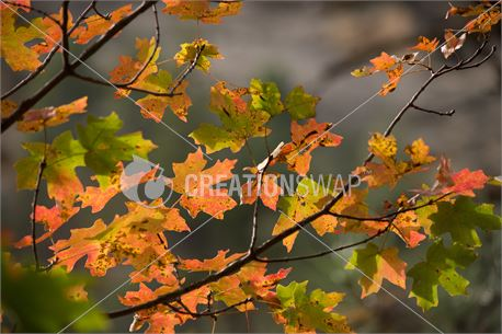 Fall Leaves (40376)