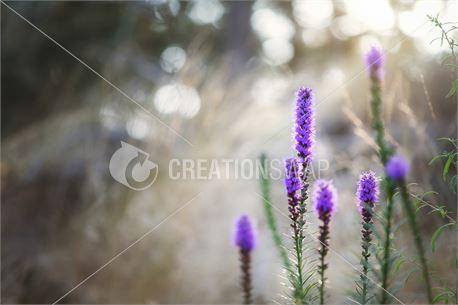 Purple (42910)