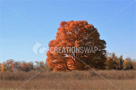 Autumn Blaze (42998)