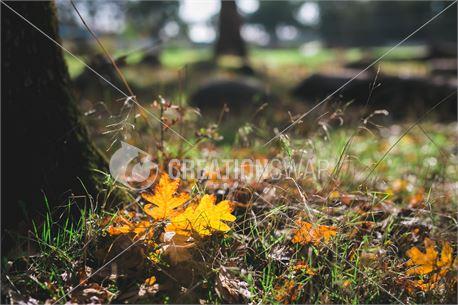 Fall Glow (43645)