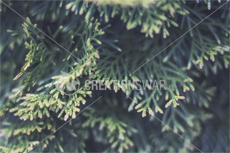 Pine Tree (44438)
