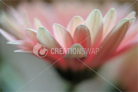 gerber daisy (47701)