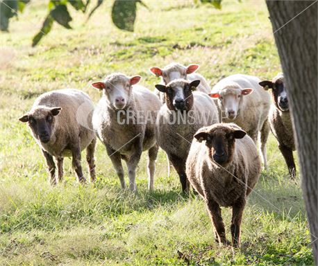 Flock of Sheep (47702)