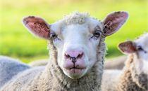 Flock of Sheep III