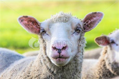 Flock of Sheep III (49722)
