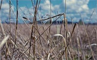 Vintage Wheat Field