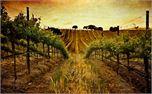 vinyard (5883)