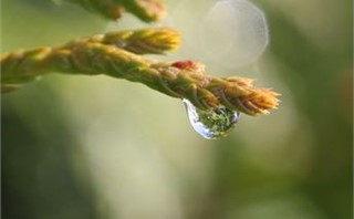 Raindrop on Pine