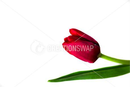 Red tulip (50729)