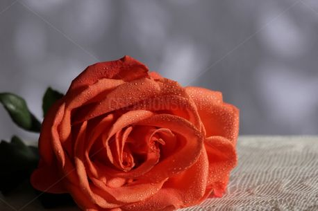 Rose and Lace (52048)