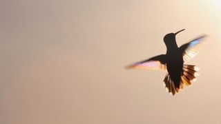 Rainbow Hummer at Sunset