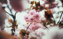 Japanese Flowers on Tree