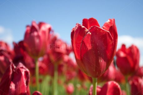 Pink Tulips (53209)