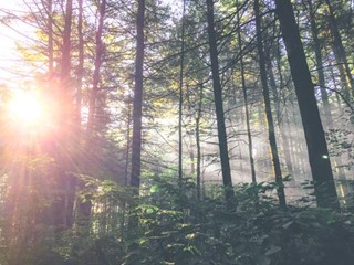 Sun Flare in the Forest