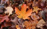 Wet maple leaves (59802)