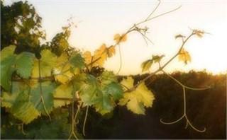 summer vines